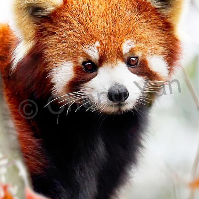 Red pandas 004 dy3jif