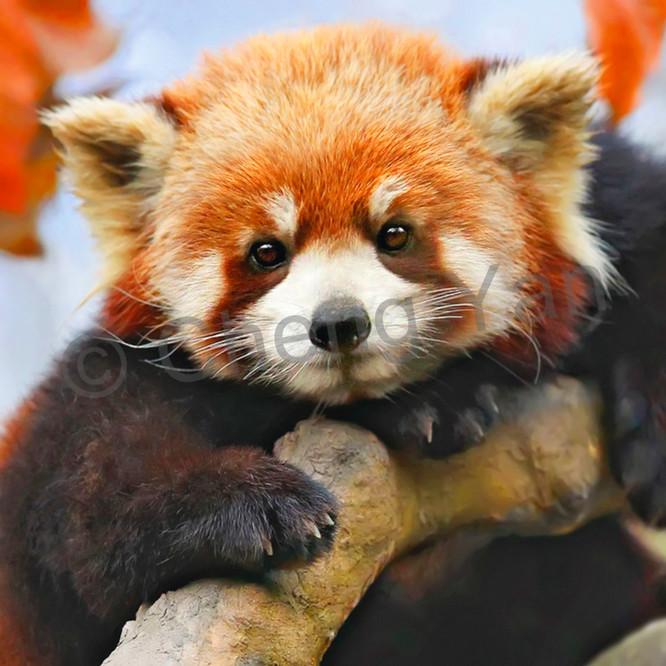 Red pandas 002 jzmvh3