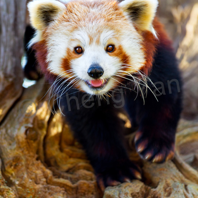 Red pandas 006 bo7men