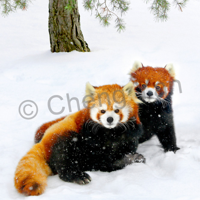 Red pandas 003 hvabil