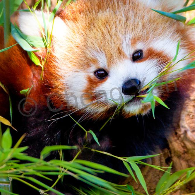 Red pandas 007 xocnh2