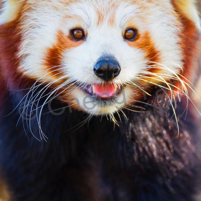 Red pandas 010 cbr2jq