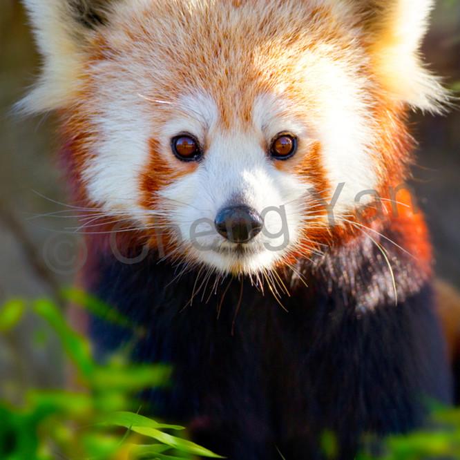 Red pandas 009 sjhj0h