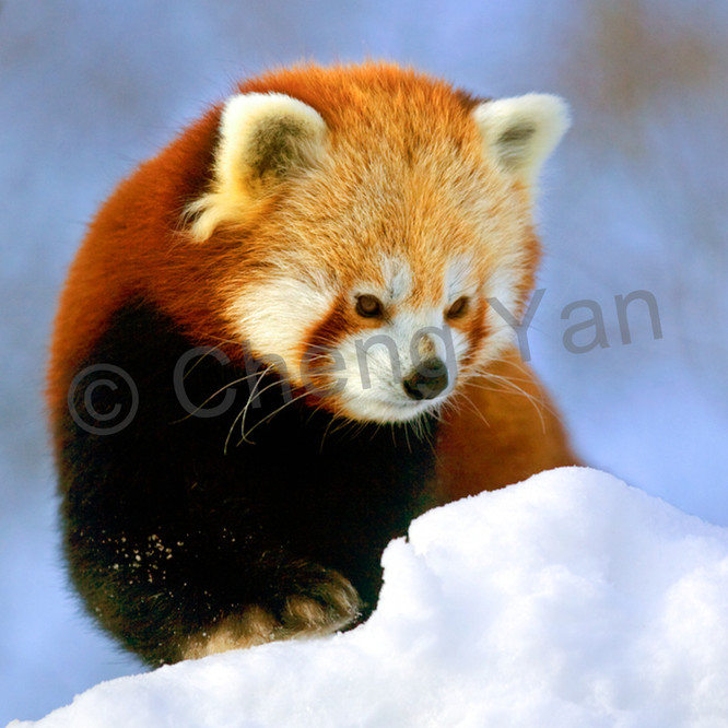 Red pandas 013 azwptb