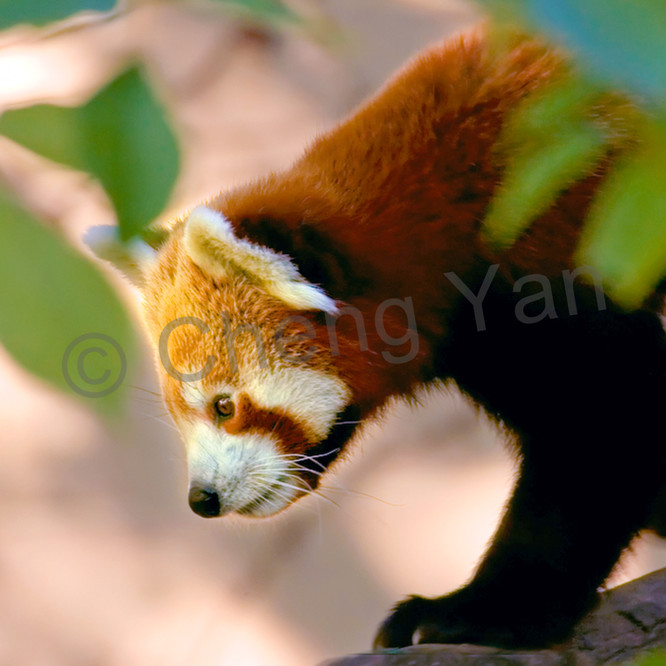 Red pandas 015 sh5ijo