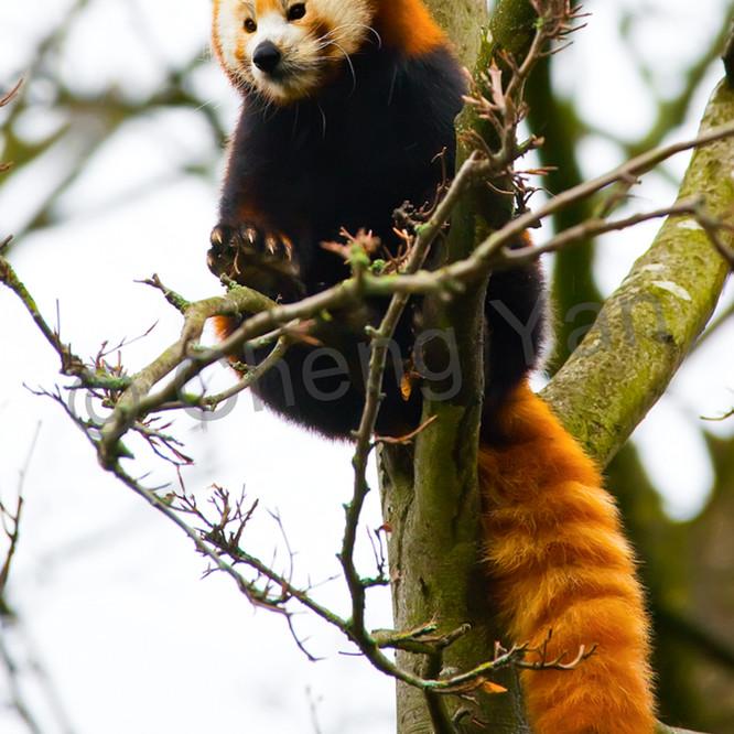 Red pandas 016 lrqcr9