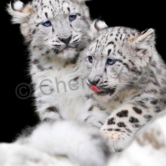 Snow leopards 006 m6heo6