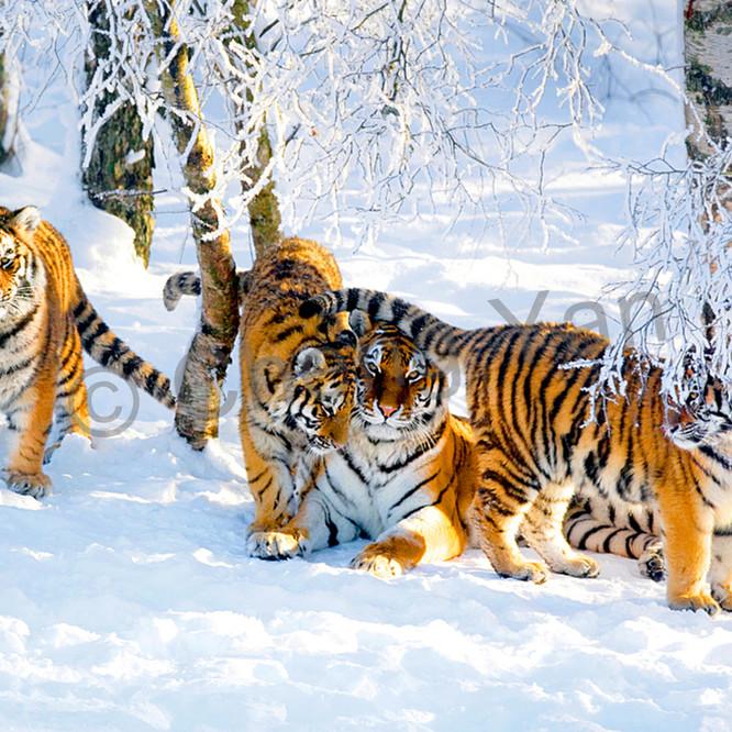 Tigers 002 wcjzup
