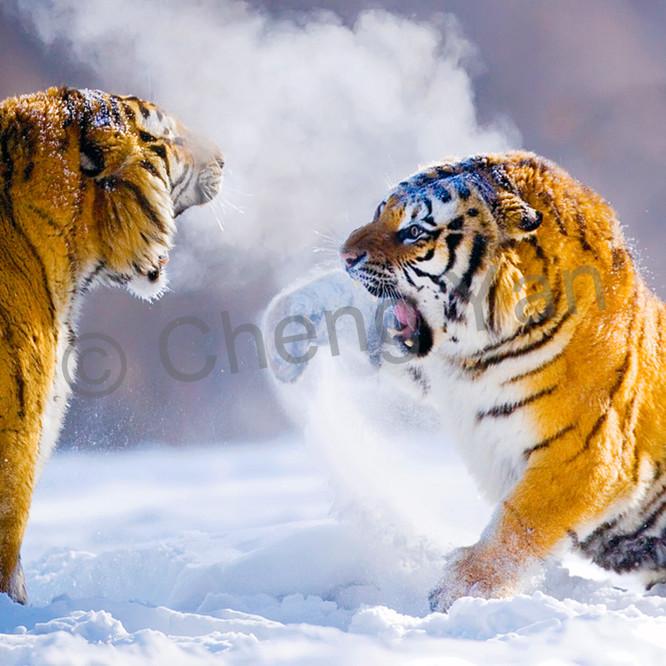 Tigers 003 ycjh5l