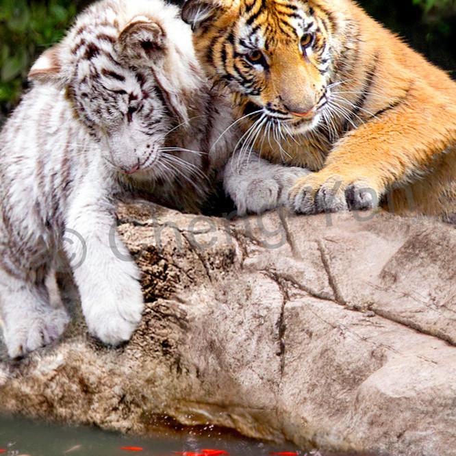 Tigers 006 jvvbuc