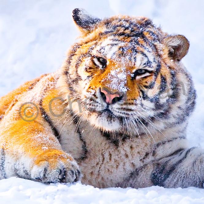 Tigers 008 gcmzeh