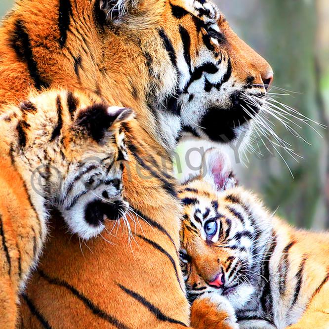 Tigers 007 adzufn