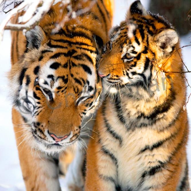 Tigers 027 kbiuxz