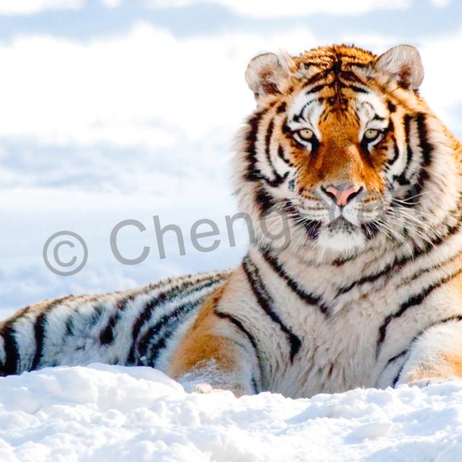 Tigers 047 cyjxia
