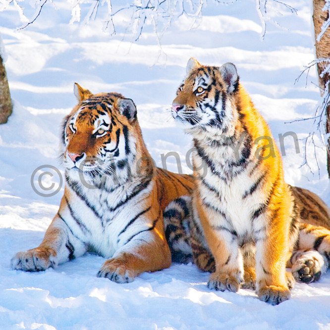 Tigers 061 rxauvn