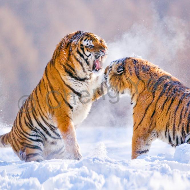 Tigers 080 tfoxxk
