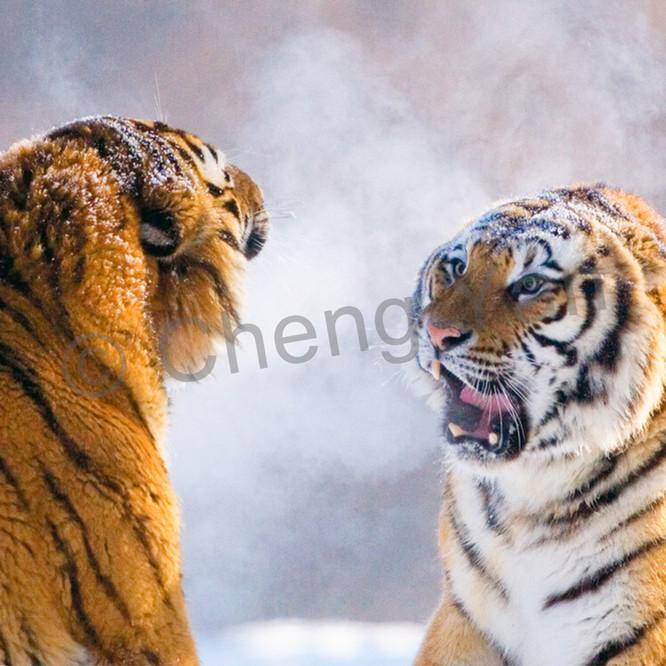 Tigers 079 mefwzo