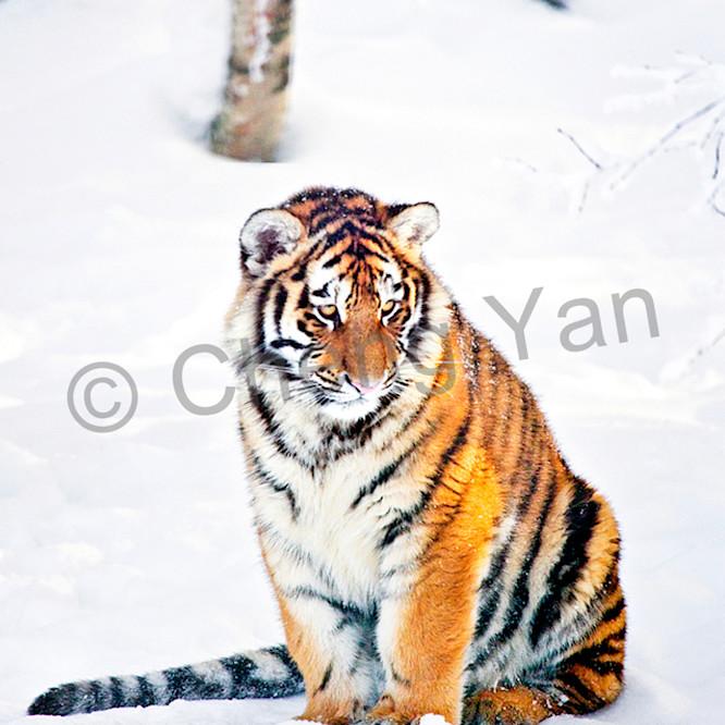 Tigers 083 oqoh1g