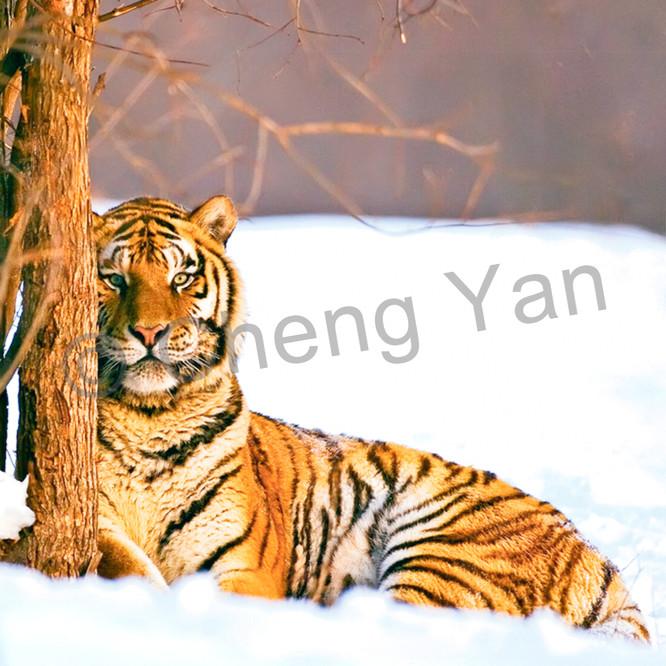 Tigers 085 nfe54h