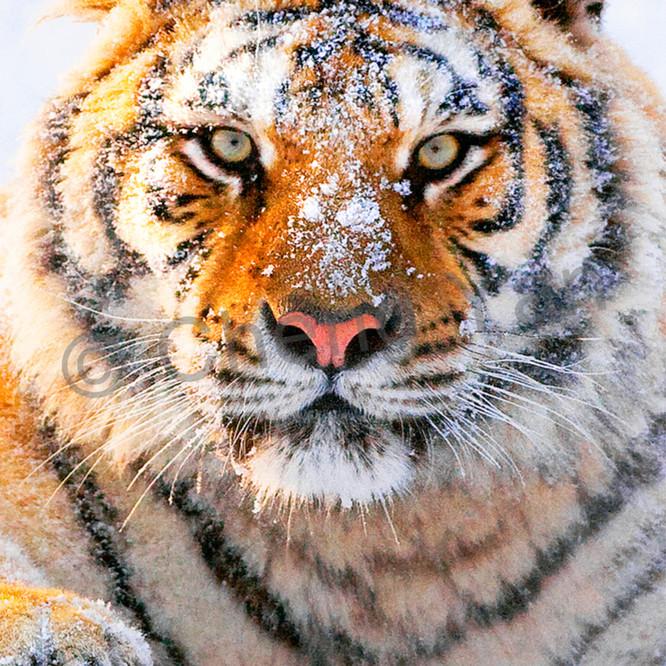 Tigers 082 z3zgt9