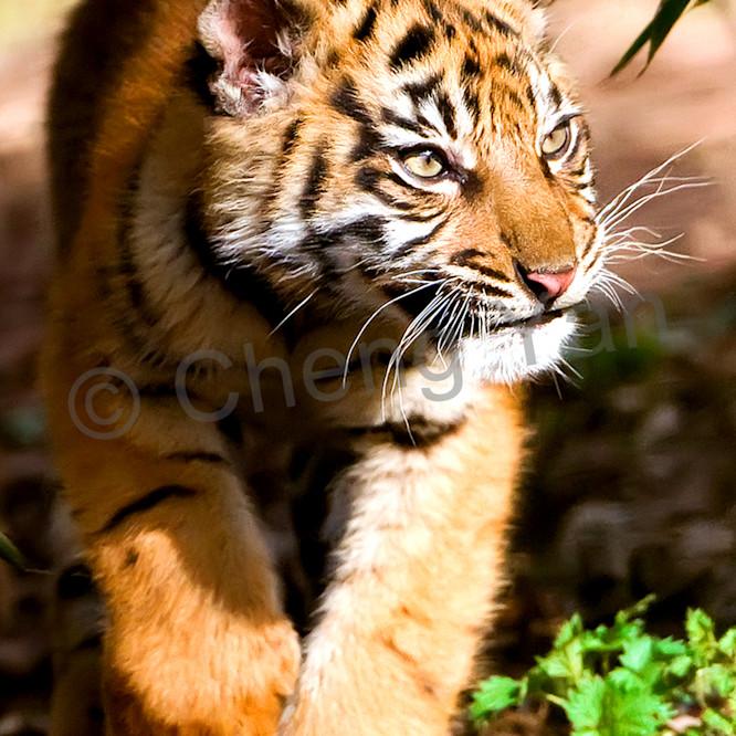 Tigers 086 eigykq
