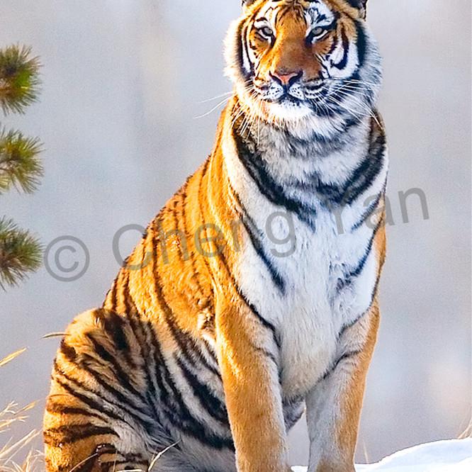 Tigers 093 qrl9cn