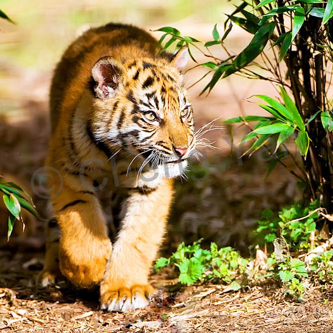 Tigers 096 utu4pf