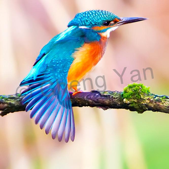 Kingfishers 001 p10srl