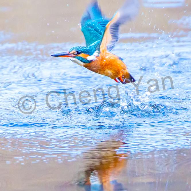 Kingfishers 002 tzgqog