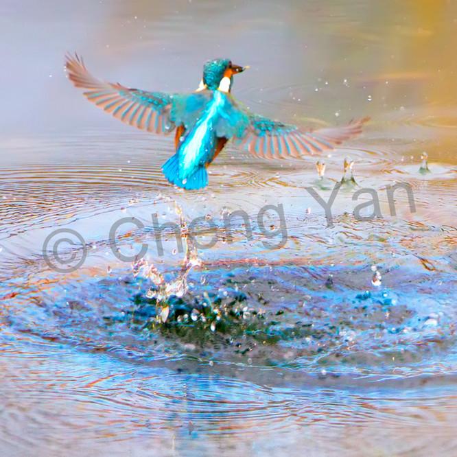 Kingfishers 007 ibjscc