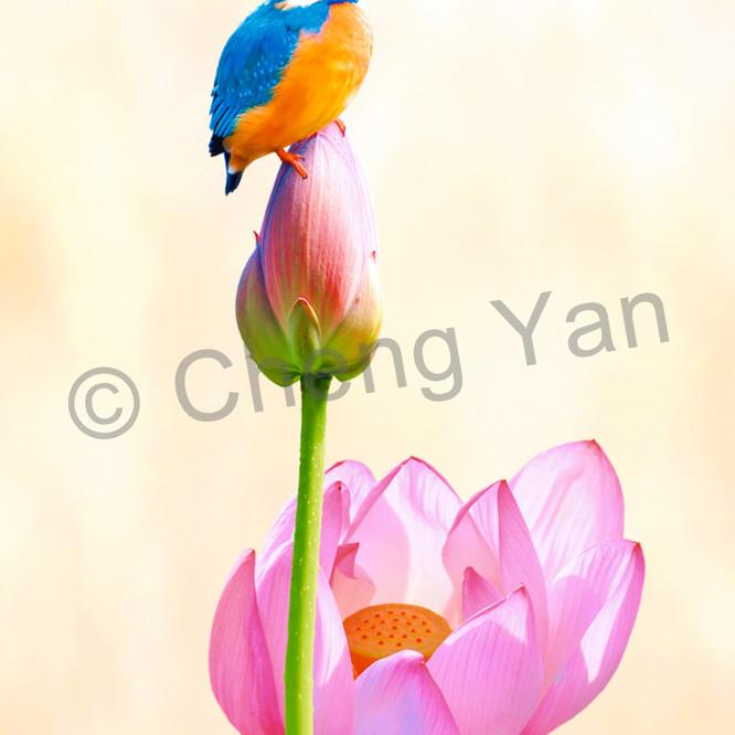 Kingfishers 011 pyieju