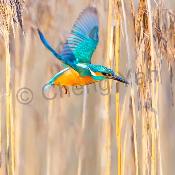 Kingfishers 009 r1uyo4