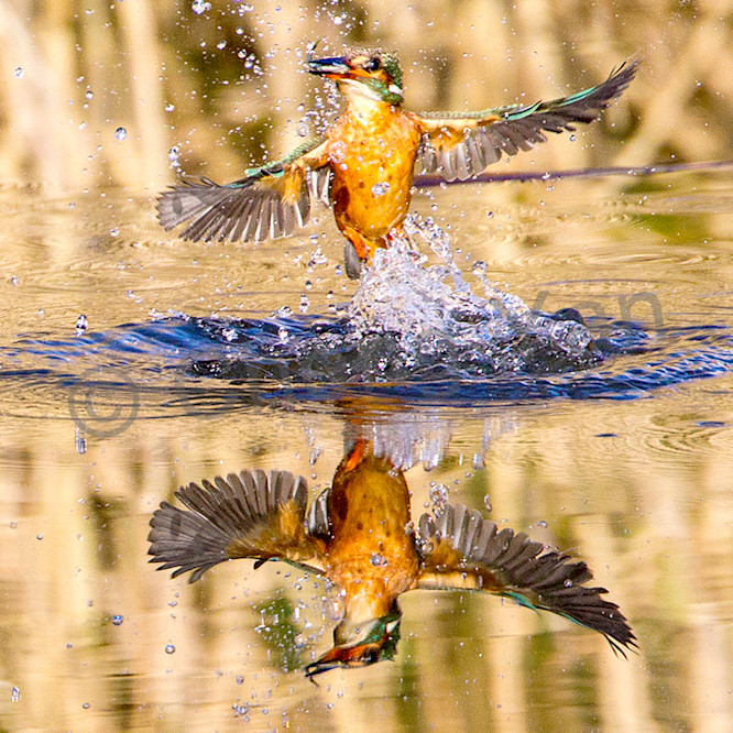 Kingfishers 023 k2p7w9