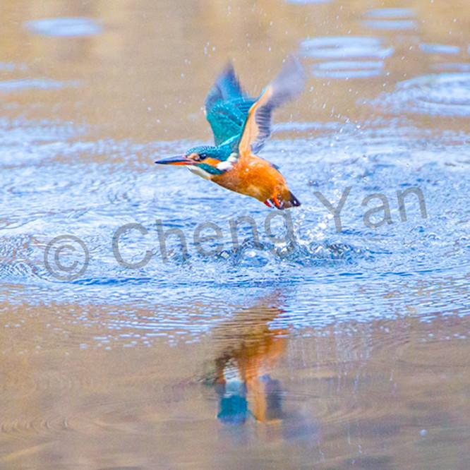 Kingfishers 041 cvywol