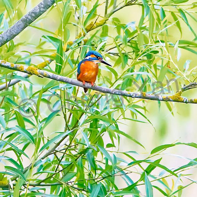 Kingfishers 044 h5q1r0