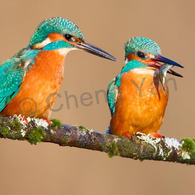 Kingfishers 048 s0ktto