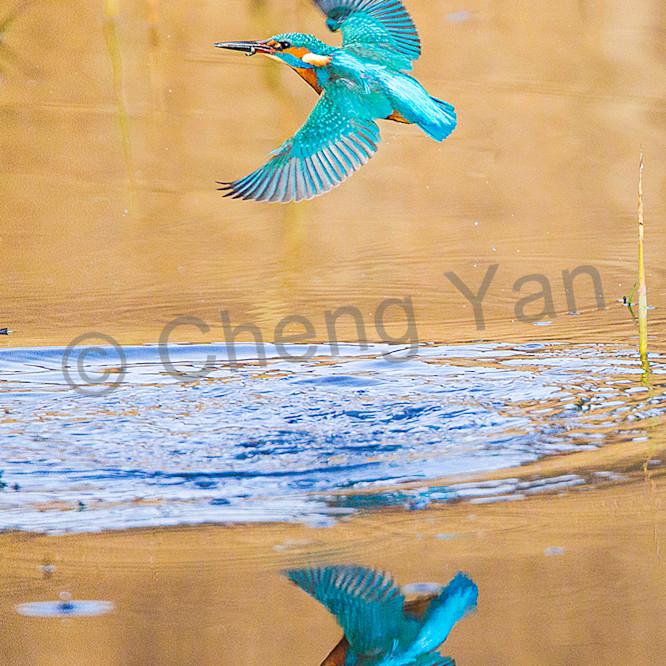 Kingfishers 047 ajsxft