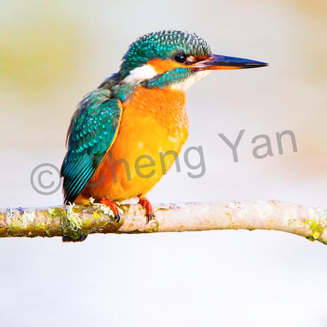 Kingfishers 064 lavpn8