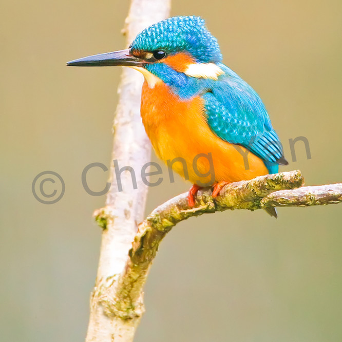 Kingfishers 066 nvk7pp