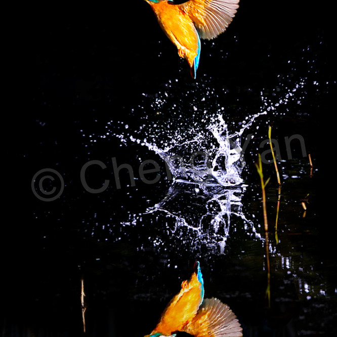 Kingfishers 067 hx1w8q
