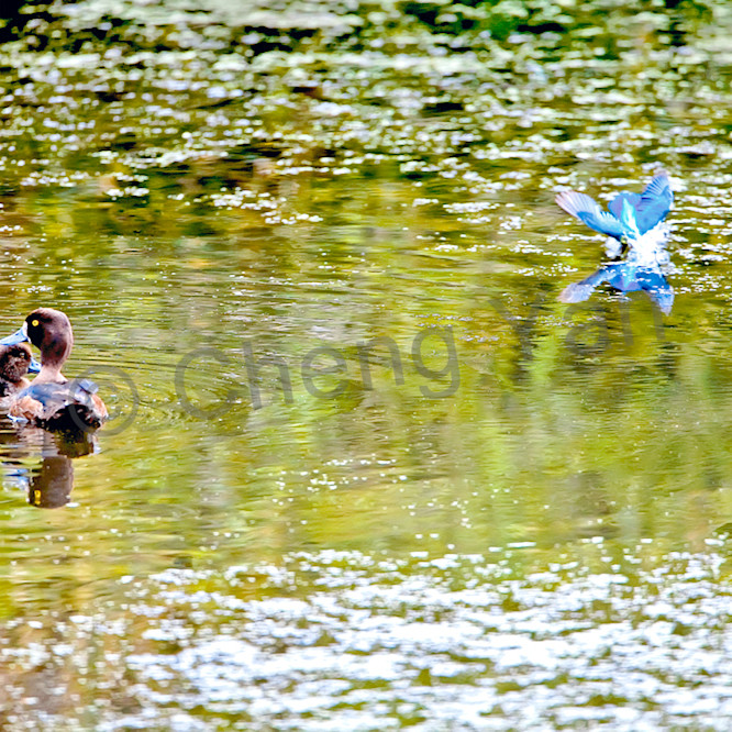 Kingfishers 069 e9ekz2