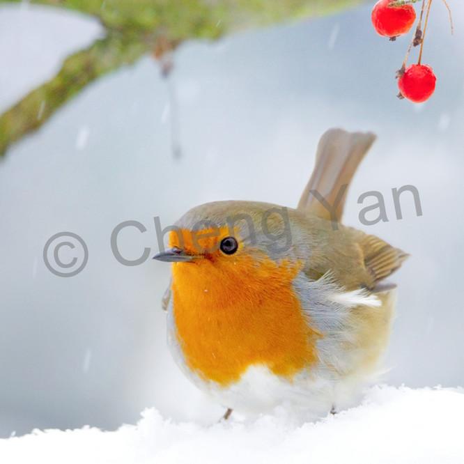 Robins 003 fwsytq