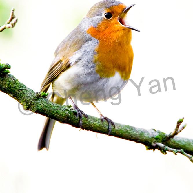 Robins 009 p8sxtx