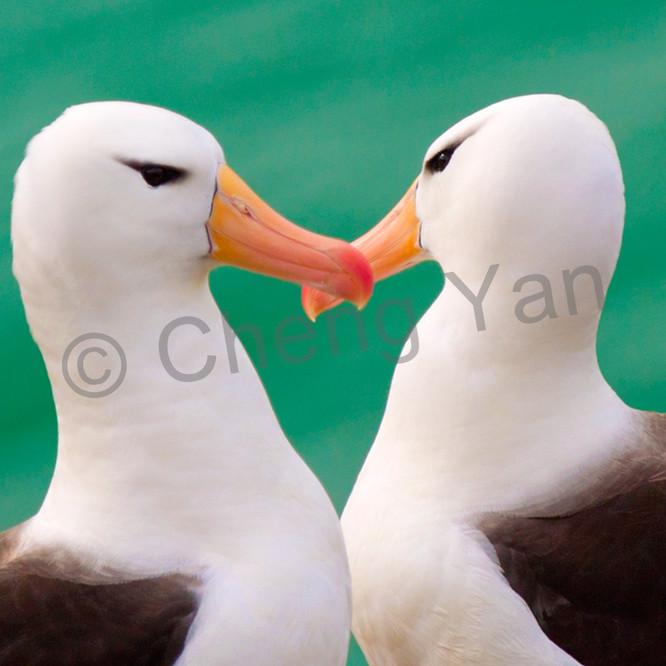 Albatross 001 emujgj