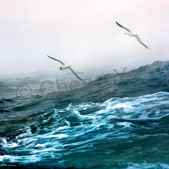 Gannets 005 lu4ydm