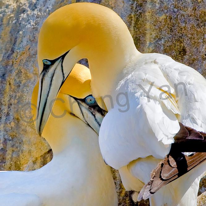 Gannets 004 kklnmj