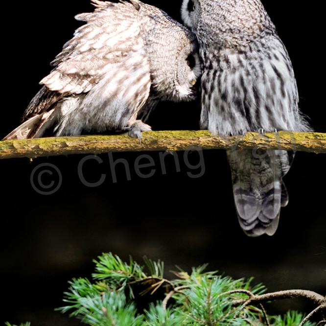 Owls 006 x6sg6k