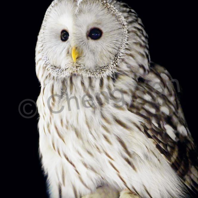 Owls 002 hsdjvr