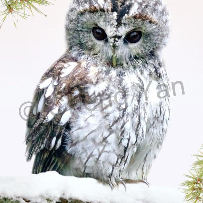Owls 001 klunca