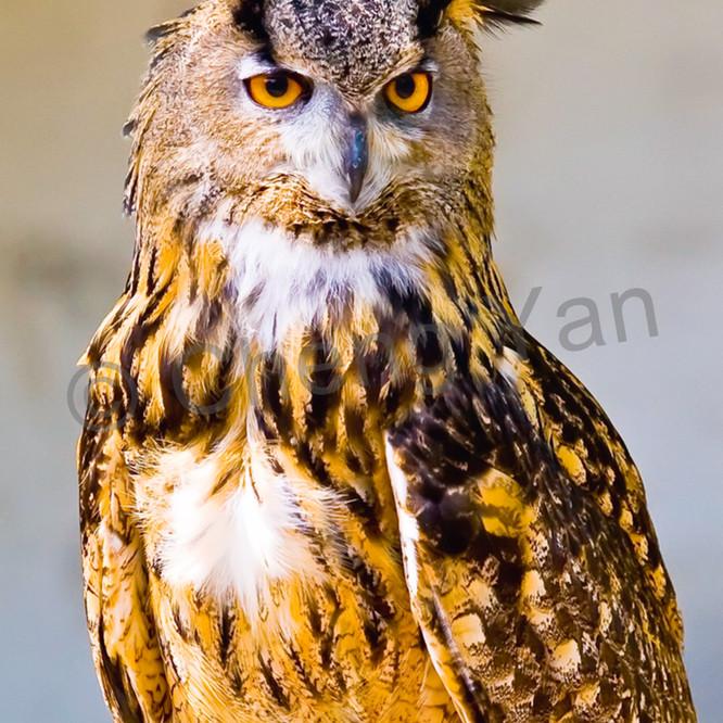 Owls 003 g91bog